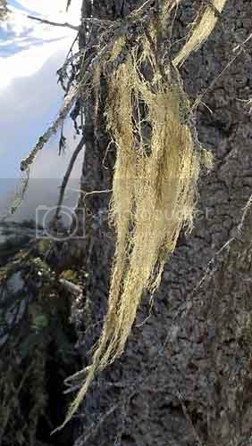 Usnea
