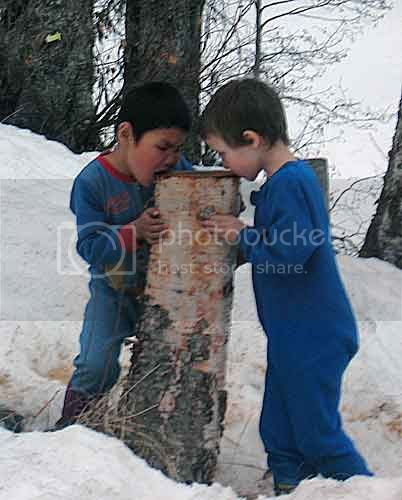 Drinking Birch Sap From Stump-2