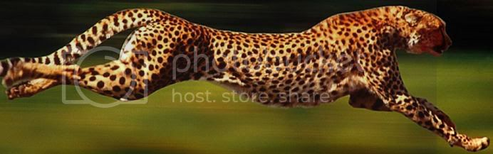 Cheetah Image